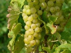 Виноград гібридний Йоханнітер