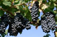 Виноград Маршал Фош (ранний, плодовый)