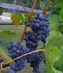 Vitis vinifera Marechal Foch (early, fruit)