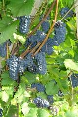 Vitis vinifera Marechal Foch