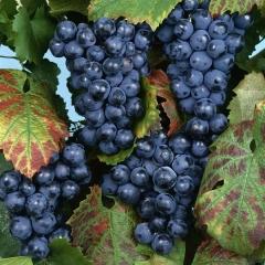 Виноград Регент (пізній, плодовий)