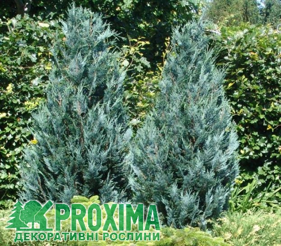 Кипарисовик Лавсона Пельтс Блю Chamaecyparis Lawsoniana Pelts Blue