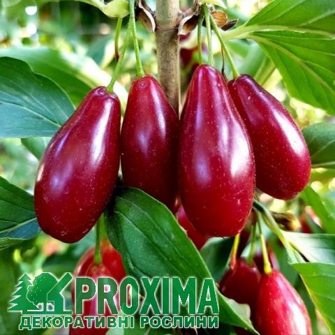 Кизил плодовый Николка