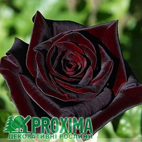 Роза чайно-гибридная Блэк Баккара