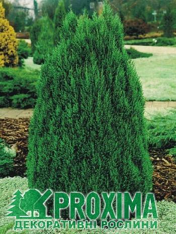 Ялівець китайский 'Стрикта' Juniperus chinensis 'Stricta'