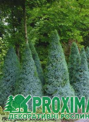 Ялина канадская Сандерс Блю Picea glauca Sanders Blue