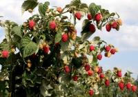 Малина штамбова Здоровань <br> Малина штамбовая Крепыш <br>Raspberries stam Krepish