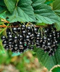 Смородина чорна Орест (середня) <br>Смородина черная Орест (средняя) <br>Ribes nigrum Orest