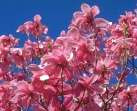 Магнолія суланжа Галаксі <br>Магнолия суланжа Галакси <br>Magnolia soulangeana Galaxy