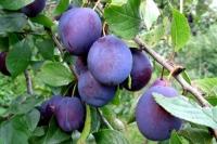 Слива домашня Президент (пізня) <br>Слива домашняя Президент (поздняя) <br>Prunus domestica Prezident