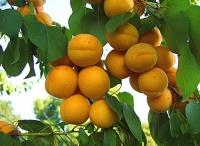 Абрикос Ананасовий (середній) <br>Абрикос Ананасный (средний) <br>Prunus armeniaca Apricot Pineapple