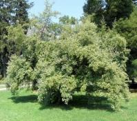 Гумі / Лох багатоквітковий <br>Гуми / Лох многоцветковый <br> Elaeagnus multiflora