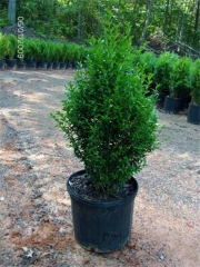 Самшит вічнозелений Арборесценс / Деревовидний<br>Buxus sempervirens Arborescens<br>Самшит вечнозелёный Арборесценс / Древовидный