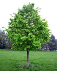 Горіх ведмежий / Ліщина деревоподібна <br>Corylus colurna<br>Орех медвежий / Лещина древовидная