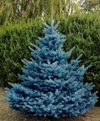 Ялина колюча Блю Даймонд<br>Picea pungens Blue Diamant<br>Ель колючая Блю Даймонд