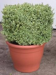 Самшит вічнозелений Елеганс<br>Buxus sempervirens Elegans<br>Самшит вечнозеленый Элеганс