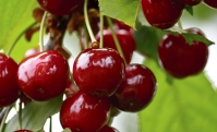 Вишня домашня Слов'янка (рання)<br>Вишня домашняя Славянка (ранняя)<br>Prunus cerasus Slavyanka