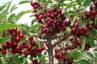 Вишня домашня Чорнокорка (середня)<br>Вишня домашняя Чернокорка (средняя)<br>Prunus cerasus Chernokorka