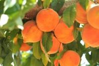 Персик домашній Сонячний (середній)<br>Персик домашний Солнечный (средний)<br>Prunus persica Solnechniy