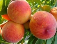 Персик домашній Княжа Краса (ранній)<br>Персик домашний Княжья Краса (ранний)<br>Prunus persica Knyaja Krasa