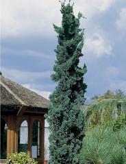 Кипарисовик Лавсона Вісселі<br>Chamaecyparis lawsoniana Wisselii<br>Кипарисовик Лавсона Виссели