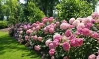Гортензія деревоподібна Пінк Аннабель<br>Hydrangea arborescens Pink Annabelle<br>Гортензия древовидная Пинк Аннабель
