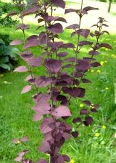 Багряник японський Ротфутчс<br>Cercidiphyllum japonicum Rotfuchs<br>Багрянник японский Ротфучс