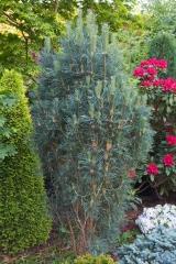 Сосна звичайна Глаука Фастігіата<br>Pinus sylvestris Glauca Fastigiata<br>Сосна обыкновенная Глаука Фастигиата