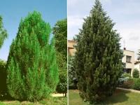 Сосна чорна / австрійська Пірамідаліс<br>Pinus nigra Pyramidalis<br>Сосна черная / австрийская Пирамидалис