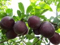 Алича великоплідна Генерал (середня)<br>Алыча крупноплодная Генерал (средняя)<br>Prunus cerasifera General
