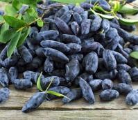 Жимолость їстівна Блакитне Веретено<br>Lonicera edible Gоluboe Vereteno<br>Жимолость съедобная Голубое Веретено