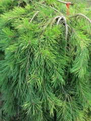 Сосна звичайна Пендула<br>Pinus sylvestris Pendula<br>Сосна обыкновенная Пендула