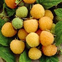 Малина Ранкова Роса (жовта ремонтантна)<br>Rubus idaeus  Utrennyaya Rosa<br>Малина Утренняя Роса (желтая ремонтантная)