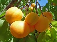 Абрикос Іюньський / Червневий ранній<br>Абрикос Іюньский ранний<br>Prunus armeniaca Yyunskyy ranniy