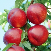 Нектарин Біг Топ (ранній)<br>Нектарин Биг Топ (ранний)<br>Prunus percica / Nucipersica Big Top