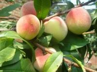 Персик домашній Донецький білий (середній)<br>Персик домашний Донецкий белый (средний)<br>Prunus persica Donets`kyy bilyy