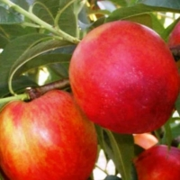 Нектарин колоновидний Фантазія (пізній)<br>Нектарин колоновидный Фантазия (поздний)<br>Prunus percica / Nucipersica columnar Fantasia