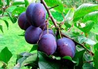 Слива домашня Кубанська (рання)<br>Слива домашняя Кубанская (ранняя)<br>Prunus domestica Kubans`ka