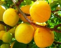 Слива домашня Ренклод ранній<br>Слива домашняя Ренклод ранний<br>Prunus domestica Renklod ranniy