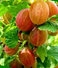Агрус Сварог (середній)<br>Крыжовник Сварог (средний)<br>Ribes uva-crispa Svarog