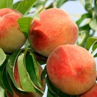 Персик колоновидний Ювілейний (ранній)<br>Персик колоновидный Юбилейный (ранний)<br>Prunus persica columnar Jubilee