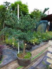 Сосна дрібноквіткова Негішi<br>Pinus parviflora Negishi<br>Сосна мелкоцветковая Негиши