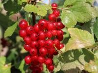 Смородина червона Ровада<br>Ribes rubrum Rovada<br>Смородина красная Ровада