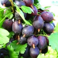 Агрус Грушенька<br> Крыжовник Грушенька <br>Ribes uva-crispa Grushenka