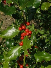 Падуб гостролистий<br>Ilex aquifolium<br>Падуб остролистный