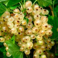 Смородина біла Десертна (рання)<br>Смородина белая Десертная (ранняя)<br>Ribes niveum Desertna