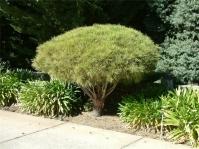 Сосна густоквіткова Умбракуліфера на штамбі<br>Сосна густоцветковая Умбракулифера на штамбе<br>Pinus densiflora Umbraculifera
