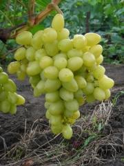 Виноград столовий Аркадія<br>Виноград столовый Аркадия<br>Vitis vinifera Arkadiya