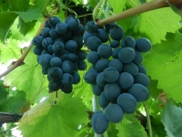 Виноград столовий Молдова<br>Виноград столовый Молдова<br>Vitis vinifera Moldova