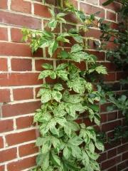 Виноград дівочий п`ятилисточковий Стар Шоуерс<br>Виноград девичий пятилисточковый Стар Шоуерс<br>Parthenocissus quinquefolia Star Showers
